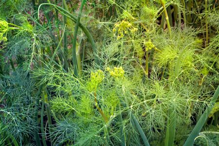 green onions: In the garden grow green onions and young plants of dill. Stock Photo