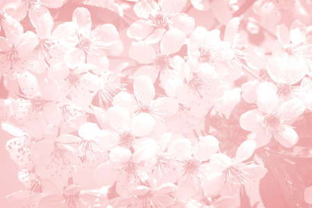 cerezos en flor: Background image: on a light pink background white flowers are cherry blossoms.