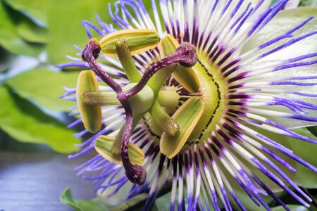 passion flower: Beautiful passion flower with a purple Corolla of petals around the pistil and stamens. Presented on the background of green garden.