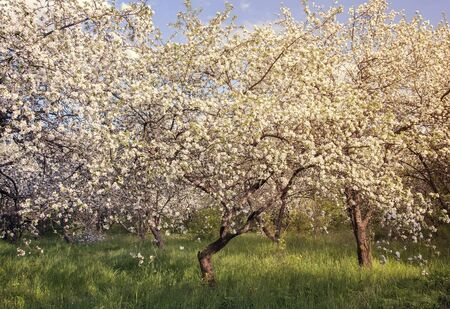 In the old Apple orchard blooming Apple trees, profusely covered with white flowers. On earth grows young green grass. Фото со стока