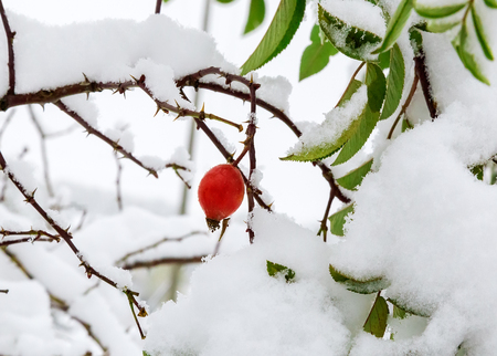 Part of the Bush of hawthorn leaves and berries, thickly covered with fallen white snow.