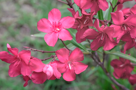 Blooming oleander with lots of beautiful bright pink flowers and green leaves lit by the sun. Stock Photo