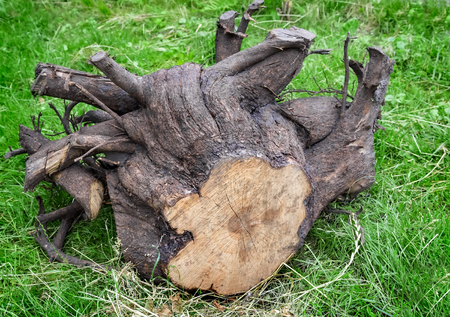 partitions: The green grass is uprooted stump of a felled tree with lots of thick roots.