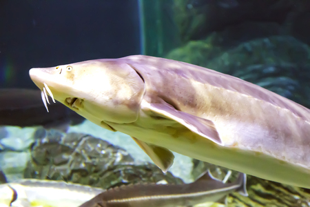 In a large aquarium with sea water floats a large marine fish sturgeon. Aquarium, Sochi, Russia. Stock Photo