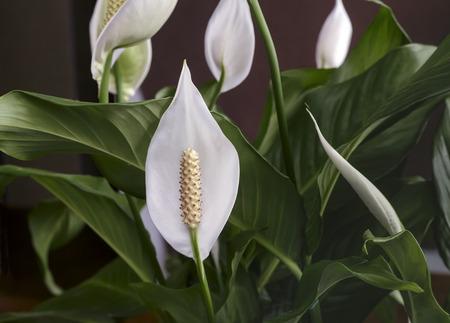 Las flores blancas hermosas y las hojas verdes tropical florecen Spathiphyllum en un fondo oscuro. Foto de archivo - 81608996