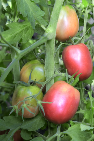 Large ripe tomatoes ripen in the garden among the green leaves. Presents closeup.