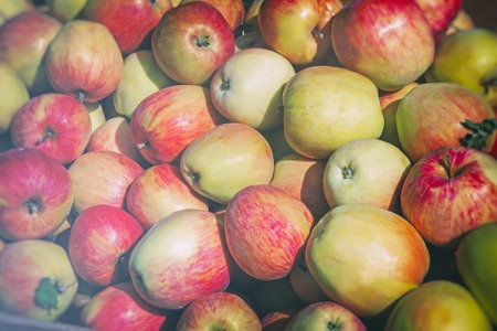 Large ripe apples , photographed close up.