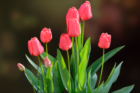 In the flowerbed in the garden grow young blooming red tulips with green leaves. Presented on a dark background. Stock Photo