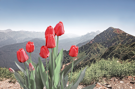Tulips bloom against a mountain landscape: steep mountains, covered with forests, form a deep gorge, away from the mountain tops of snow.