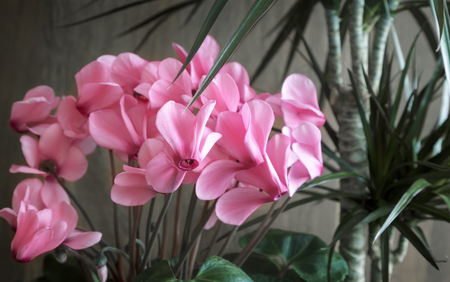 Potted flowers blooming pink cyclamen and tropical plant dracaena potted flowers blooming pink cyclamen and tropical plant dracaena stock photo 100136690 mightylinksfo