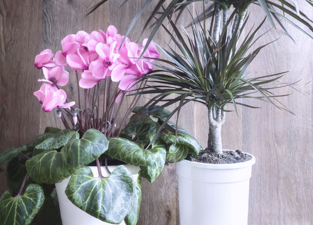 Potted flowers blooming pink cyclamen and tropical plant dracaena potted flowers blooming pink cyclamen and tropical plant dracaena stock photo 100595811 mightylinksfo