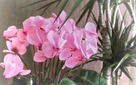 Potted flowers: blooming pink cyclamen and tropical plant dracaena.