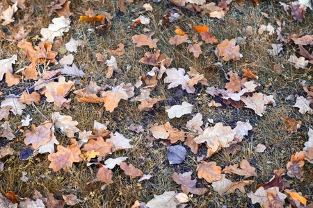 On the ground among the grass lie bright yellow and orange autumn oak leaves fell from the trees. Stock Photo