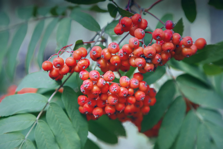Bunches of Rowan on a background of green leaves