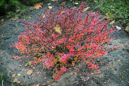 The most beautiful shrub for landscape design with high decorative - barberry Thunbergii. It has a thick crown and brightly colored red leaves.