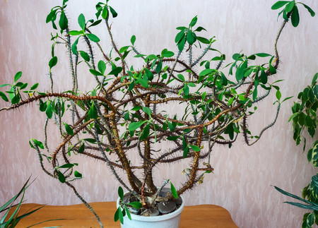 On the table in a flower pot grows branched Euphorbia with thorns and leaves on the cut appears poisonous juice. 스톡 콘텐츠