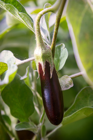 In the garden, the eggplants ripen among the green leaves. Vertical arrangement.
