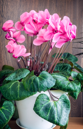 On light green background, bright pink flowers of cyclamen surrounded by green leaves.