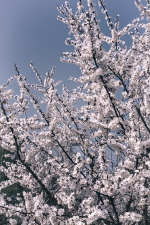 Branch of a blossoming apricot on a background of blue sky.