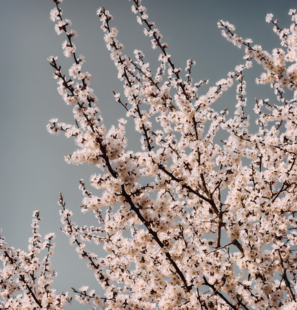 Apricot branch with lots of light pink flowers on a blue sky background.