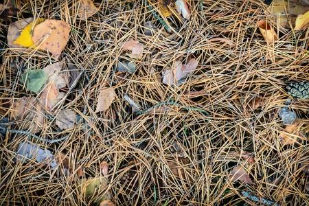 Immagine di sfondo: aghi di conifere e foglie autunnali gialle giacciono a terra.