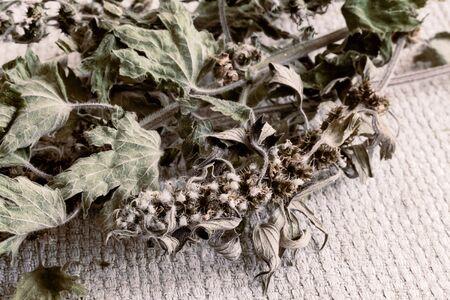 Motherwort - a medicinal plant with a calming effect Zdjęcie Seryjne - 130146568