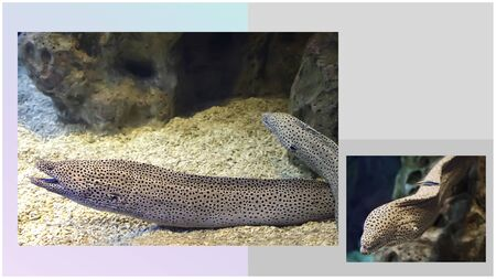 Moray eels are very strong and dangerous sea creatures, deadly for divers. Collage of two images with space for your text.