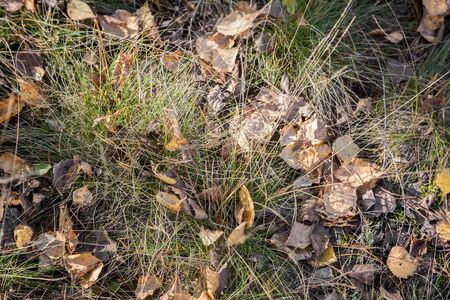 Fallen autumn leaves among the withering grass 写真素材