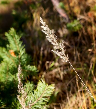 A stalk of dry autumn grass in a clearing in the forest . Presented close-up