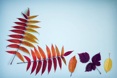 On a light blue background colorful autumn leaves. Flat lay, top view, copy space.
