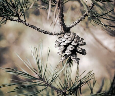 A pine cone grows on a pine branch. Presented close-up, copy space. 写真素材
