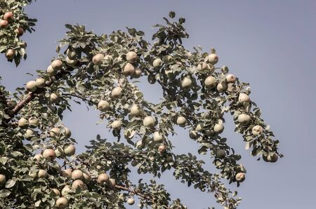 In the garden on the branches of trees ripens pear harvest.