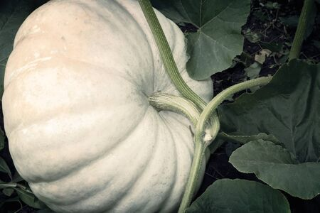 In the garden among green leaves is growing a big pumpkin is white. 版權商用圖片
