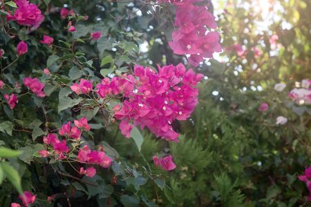 A flowering ornamental southern bougainvillea plant with beautiful bright pink flowers against a blue sky.