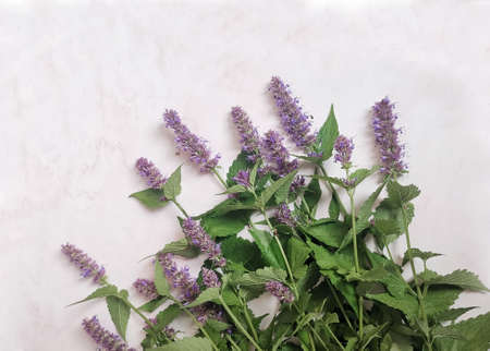 Flowers of the medicinal plant lofant aniseed Stok Fotoğraf