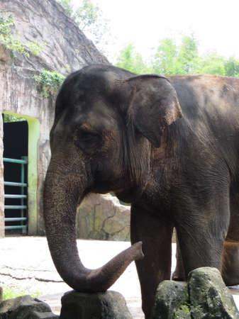 An elephant in Ragunan Zoo, Jakarta.