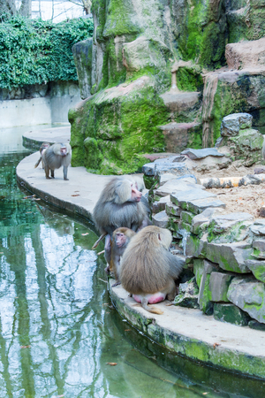 A large group of baboons monkeys feeding in the zoo in Cologne 免版税图像