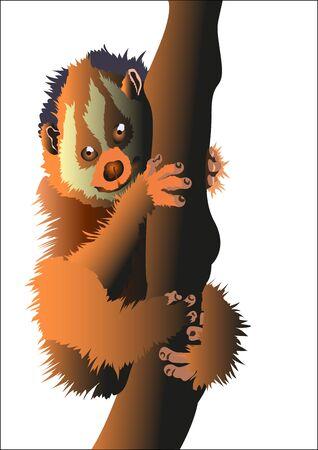 pygmy: Pygmy Lori funny, fluffy, animal wildlife
