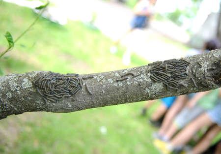 destructive: Malacosoma neustria. caterpillar lackey moth cluster on tree Stock Photo