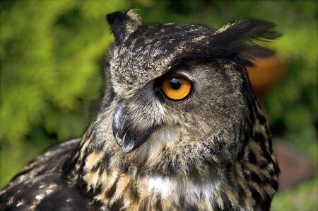 horned: The great horned owl