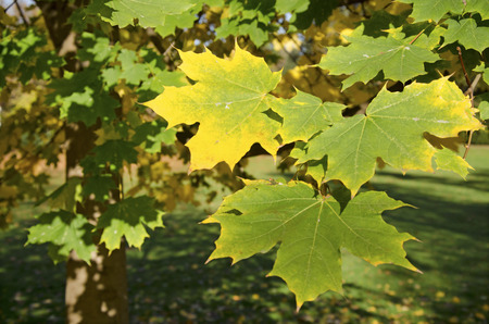 acer platanoides: The autumn maple leaves