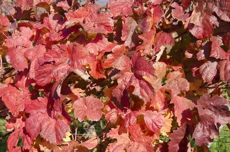 lobed: The red vine leaves