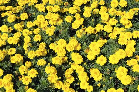 patula: The flowerbed of French marigold (Tagetes patula) - background. Stock Photo