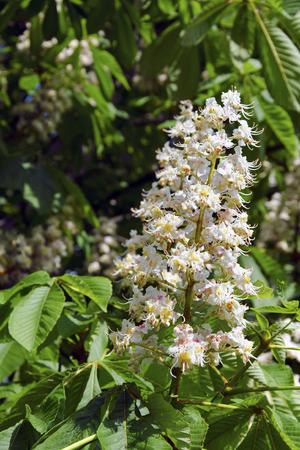 aesculus hippocastanum: The flower of horse-chestnut (Aesculus hippocastanum).