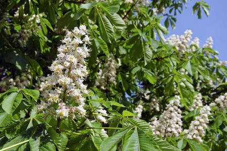 aesculus hippocastanum: The flowers of horse-chestnut (Aesculus hippocastanum). Stock Photo