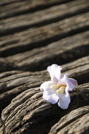 empress: The flower of Paulownia tomentosa (empress tree)
