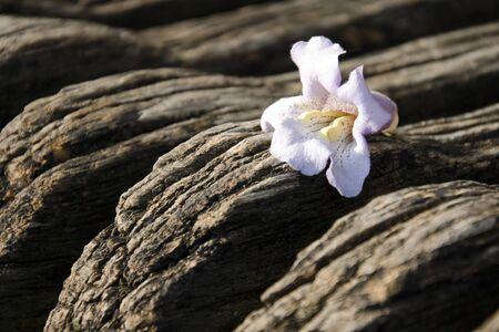 empress: The flower of Paulownia tomentosa (empress tree) on the wooden background.