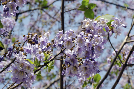 empress: The flowers of Paulownia tomentosa (empress tree) in spring.