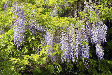 sinensis: The blooming Chinese wisteria (Wisteria sinensis) in spring