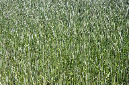 secale: The green spring rye field (Secale cereale). Stock Photo